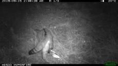 Observat gat salvatge a l'espai natural de la Serra Llarga-Secans de la Noguera