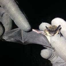 Ratpenat comú de 5,5 gr. capturat amb una xarxa especial